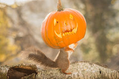 Spook dance. Red squirrel standing on  a tree trunk with a pumpkin face Royalty Free Stock Image