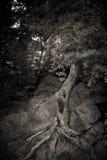 Spookboom in aard royalty-vrije stock fotografie