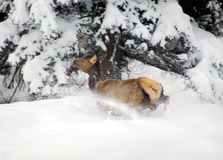 Spooked elk in snow Stock Images
