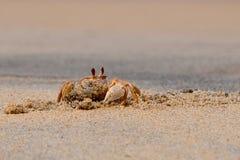 Spookkrab, Ocypode-madagascariensis, die een hol graven bij het strand Royalty-vrije Stock Afbeelding