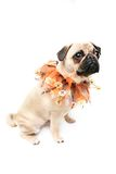 Spooky. Closeup of a Fawn Pug wearing a Halloween collar . Isolated on white Stock Photography
