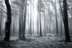Bw forest Stock Photography