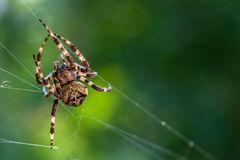 a spooky big spider close up or macro and the web on blurry green or garden background royalty free stock photos