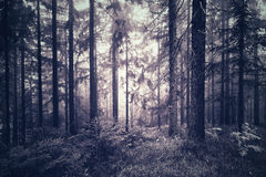Spooky blue pink color foggy forest Royalty Free Stock Photo