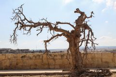Spooky dead tree branches. During the day, valetta , malta Royalty Free Stock Photography