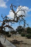 Spooky dead tree branches. During the day, valetta , malta Stock Image
