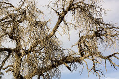Spooky Dried out Tree Royalty Free Stock Photography