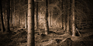 Spooky forest. With dry trees in sepia stock images