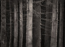 Spooky forest. In winter evening with tree trunks in sepia royalty free stock images