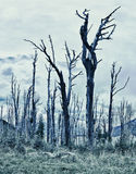 Spooky forest. With dry trees royalty free stock photography