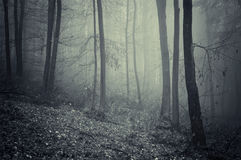 Spooky forest with blue fog on Halloween Royalty Free Stock Photos