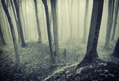 Spooky forest with fog on halloween Royalty Free Stock Photography