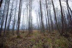 Spooky forest in late autumn in Kemeri Stock Image