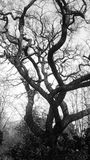 Spooky forest tree. In black and white stock photography