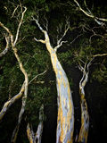 Spooky gum trees, an homage to Halloween Royalty Free Stock Photography