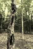 Spooky hallow tree in the forest Royalty Free Stock Photography