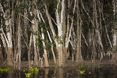 Spooky Jungle Trees during Drought Royalty Free Stock Images