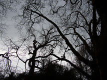 Spooky leafless branches. Leafless branches looking spooky and barren Royalty Free Stock Photography