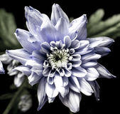 Spooky looking chrysanth, intriguing. Beautifully scary looking flower thats centre looks vaguely like teeth Royalty Free Stock Photography