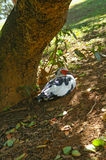 Spooky looking duck under a tree trunk Royalty Free Stock Photos