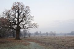 Spooky looking and old oak tree in winter with no leaves, only just visible through thick fog. Stock Photo