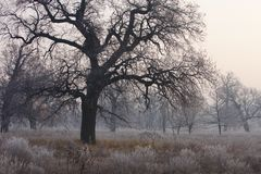 Spooky looking and old oak tree in winter with no leaves, only just visible through thick fog. Stock Photos