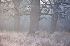 Spooky looking and old oak tree in winter with no leaves, only just visible through thick fog. Royalty Free Stock Photos