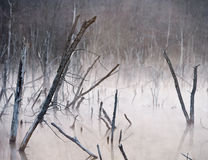Spooky Marsh With Dead Trees. A marshy swamp with dead trees and rising fog at dawn conveys an isolated and scary appearance Royalty Free Stock Photos