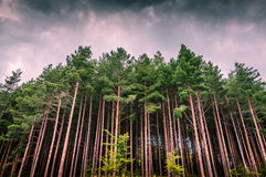 Spooky old fir forest on storm Royalty Free Stock Images