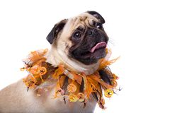 Spooky Season. Closeup of a Fawn Pug wearing a Halloween collar . Isolated on white Stock Photo