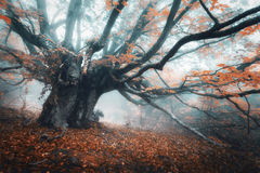 Spooky tree in fog. Old magical tree with big branches and orang stock images