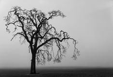 Spooky tree. A lone tree sits eerily in a fog shrouded field Royalty Free Stock Photos