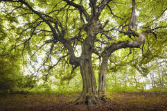 Spooky twisted tree in a green forest Royalty Free Stock Photos