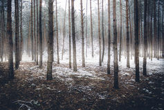 Spooky winter forest covered by mist. Landscape of spooky winter forest covered by mist royalty free stock image