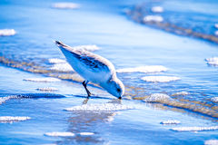 Spoon-billed Sandpiper and shorebirds at the south carolina beac. HVery rare and critically endangered species of the world,walking and foraging in  water with Royalty Free Stock Image