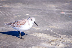 Spoon-billed Sandpiper and shorebirds at the south carolina beac. Spoon-billed Sandpiper and shorebirds at the  south carolina beachVery rare and critically Stock Images