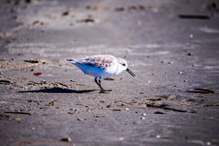 Spoon-billed Sandpiper and shorebirds at the south carolina beac. HVery rare and critically endangered species of the world,walking and foraging in  water with Stock Images