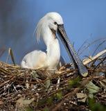 Spoonbill на гнезде - японии Стоковая Фотография RF