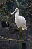 Spoonbill. Portrait of a spoonbill. White And Gray Spoonbill On One Leg royalty free stock photography