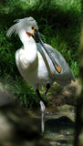Spoonbill. Bird in the ZOO stock photo