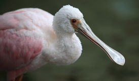 Spoonbill Royalty Free Stock Image