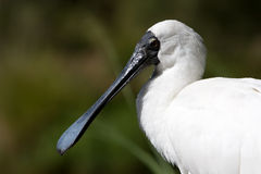 Spoonbill. Closeup of a white spoonbill Stock Photos