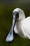Spoonbill. Closeup of a white spoonbill royalty free stock photo