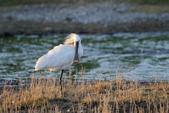 Spoonbill. Standing on small island Stock Image