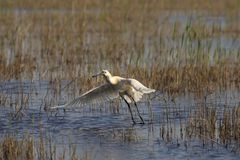 Spoonbill. Picture of a spoonbill taking off from a lake Royalty Free Stock Images