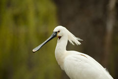 Spoonbill stock images
