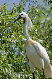 Spoonbill. (Platalea leucorodia) resting on a branch Royalty Free Stock Images