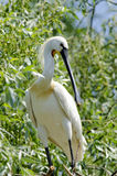 Spoonbill. (Platalea leucorodia) resting on a branch Stock Photography