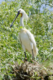 Spoonbill. (Platalea leucorodia) resting on a branch Royalty Free Stock Photography