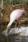 Spoonbill Royalty Free Stock Photo